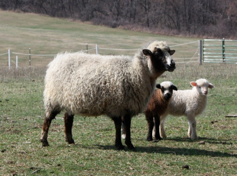 Yazzie and her 2012 twin ewes